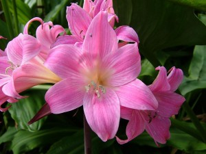 belladonna-lily-amaryllis-1